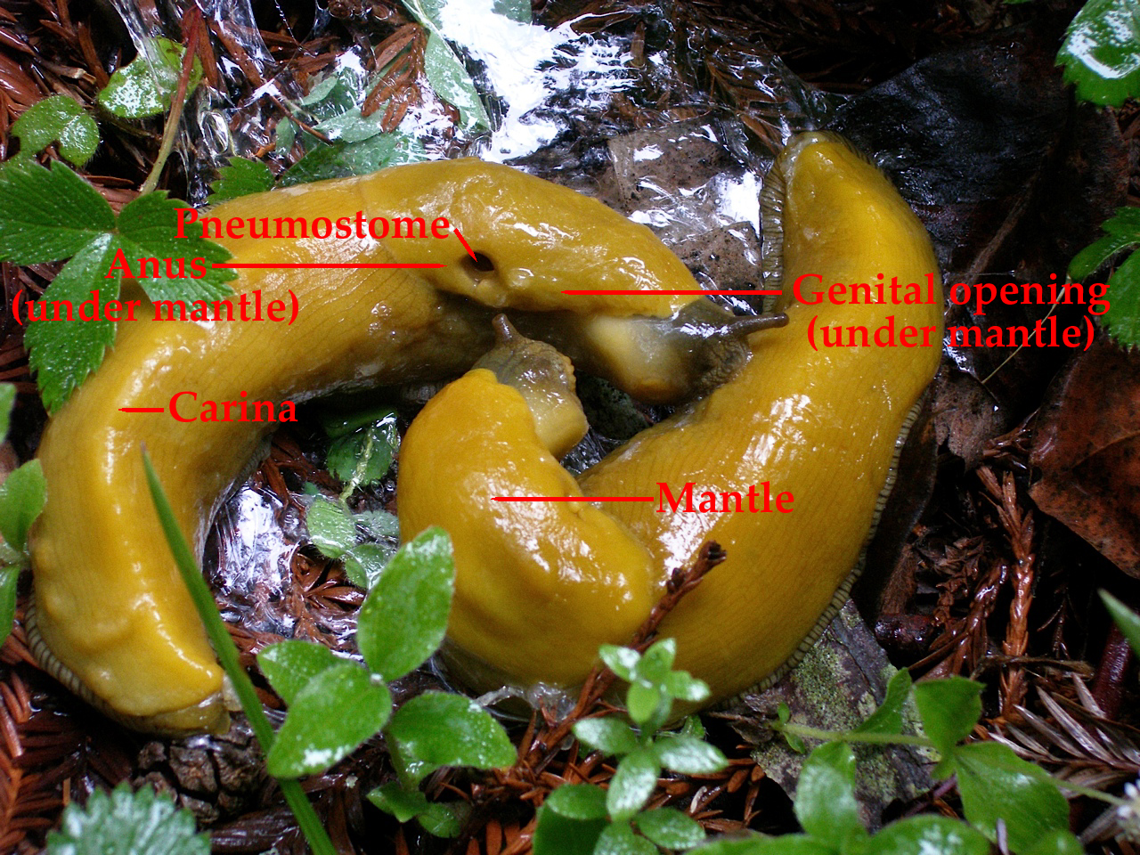 Sex with of pictures slug dolichophallus) banana banana. (ariolimax